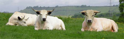 white-park-cattle-image6