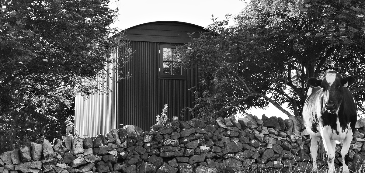 Black and white picture of a cow in a meadow with shepherd hut behind a wall