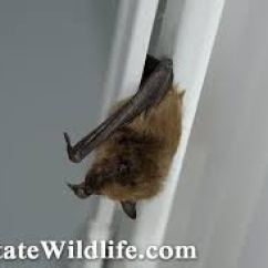 Bat Living Room Pillow Covers If You Find A In Your Home Capture It For Testing Here S How Livingroom Blinds