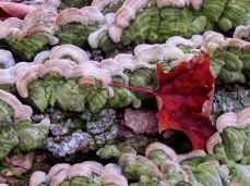 Green bracket fungi