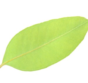 eucalyptus dives essential oil 3