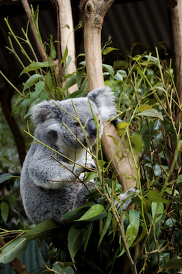 eucalyptus smithii essential oil 3