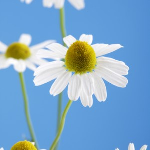 German chamomile essential oil 2