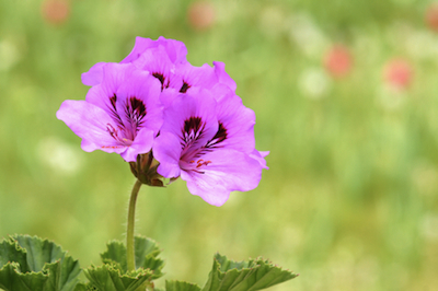 geranium essential oil 2