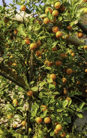tangerine essential oil 2