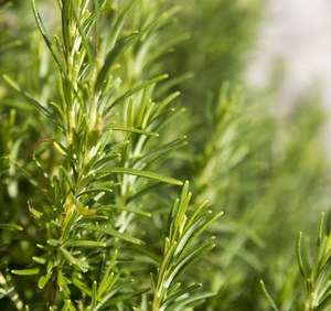rosemary essential oil cineole chemotype