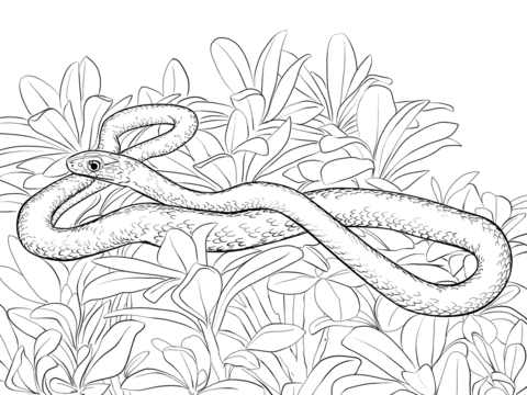 black racer snake coloring page free printable coloring pages