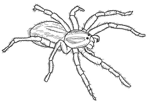 carolina wolf spider coloring page free printable coloring