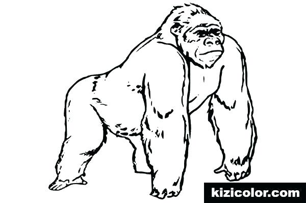 gorilla coloring page silverback pages schager
