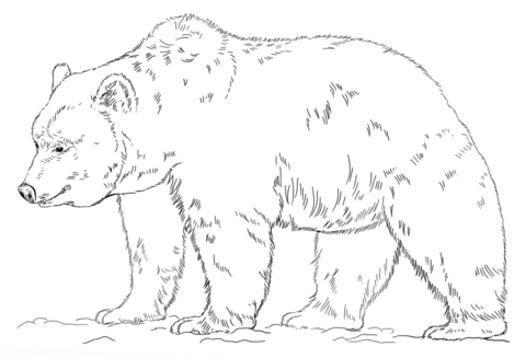 grizzly bear coloring page free printable coloring pages