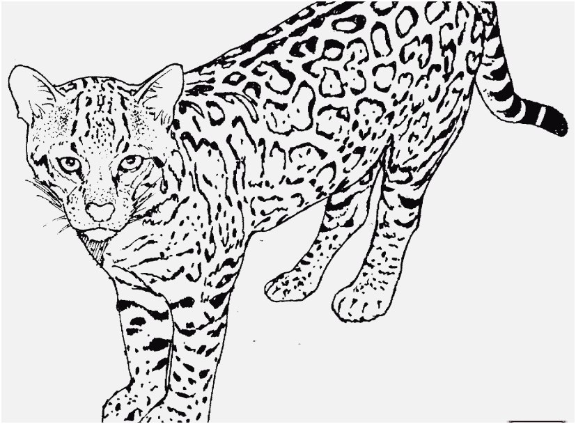 leopard coloring pages photo mammals african leopard