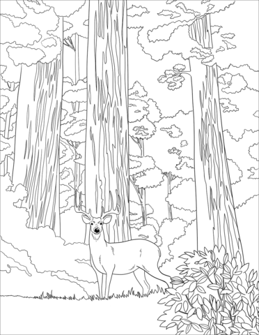 mule deer in sequoia forest coloring page free printable
