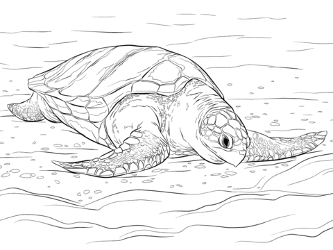 olive ridley sea turtle coloring page free printable