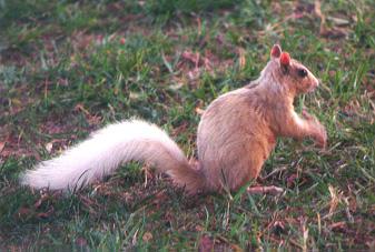 TanSquirrel