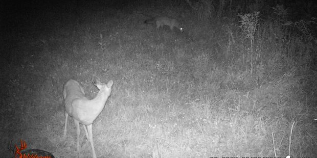 Coyote and whitetail deer