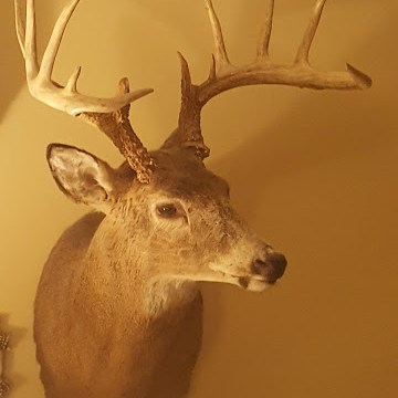 13 point Ohio whitetail buck