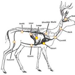 Elk Anatomy Diagram Telephone Extension Wiring Uk Circulatory System And Respiratory - Whitetail Deer