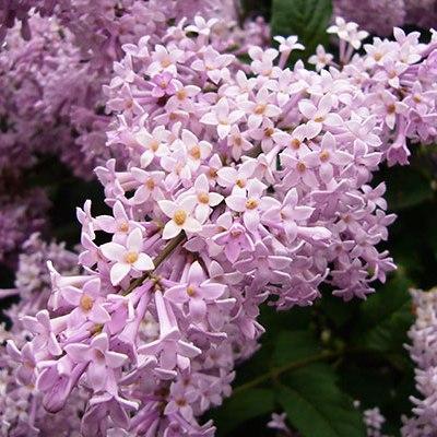 Lilacs — Springtime in a Vase