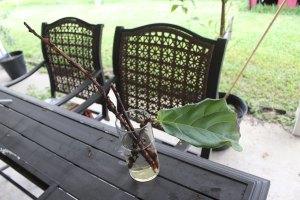 propagating a fiddle leaf fig tree | fiddle fig leaf tree