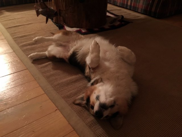 corgi sleeping on its back