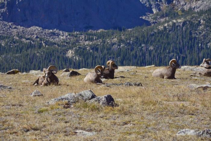 bighorn sheep (2)