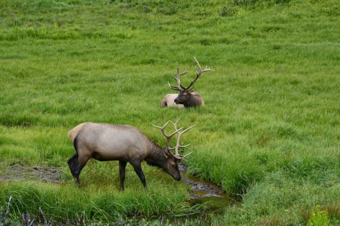 elk (3)