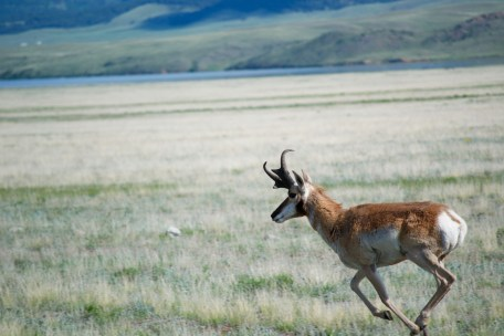 Pronghorn antelope running through the plains of Colorado.