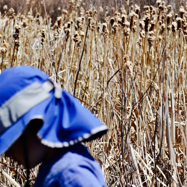 A toddler wearing a bright blue sun hat looking down as he walks through the lake reeds.