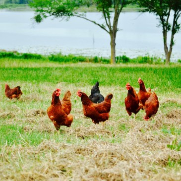 Red, brown and black chickens in a grassy field in front of a lake.