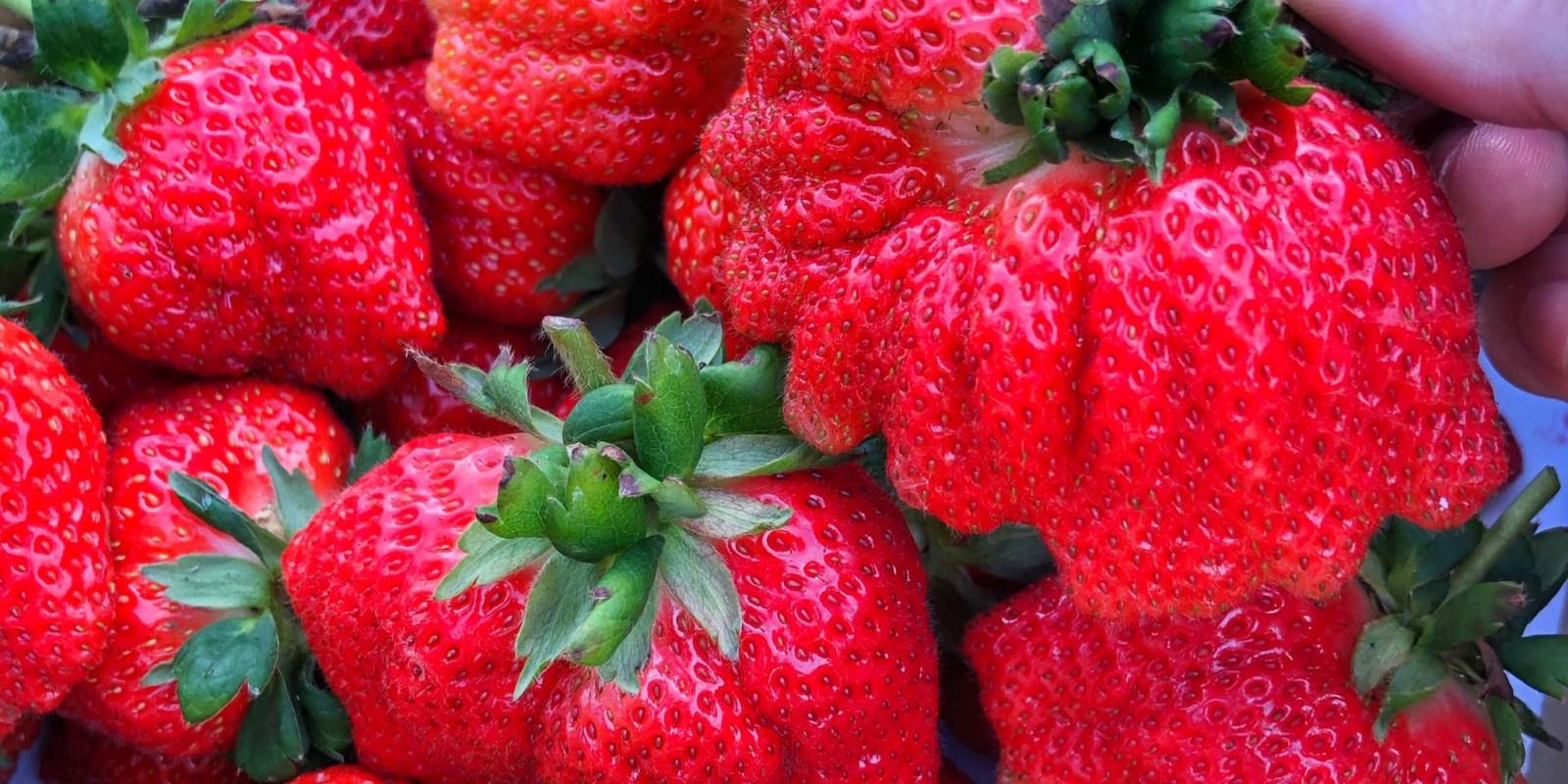 台南巨無霸【溫馨草莓園】浮誇Size大小 免跑到大湖採草莓 台南善化就有好多草莓園任你採
