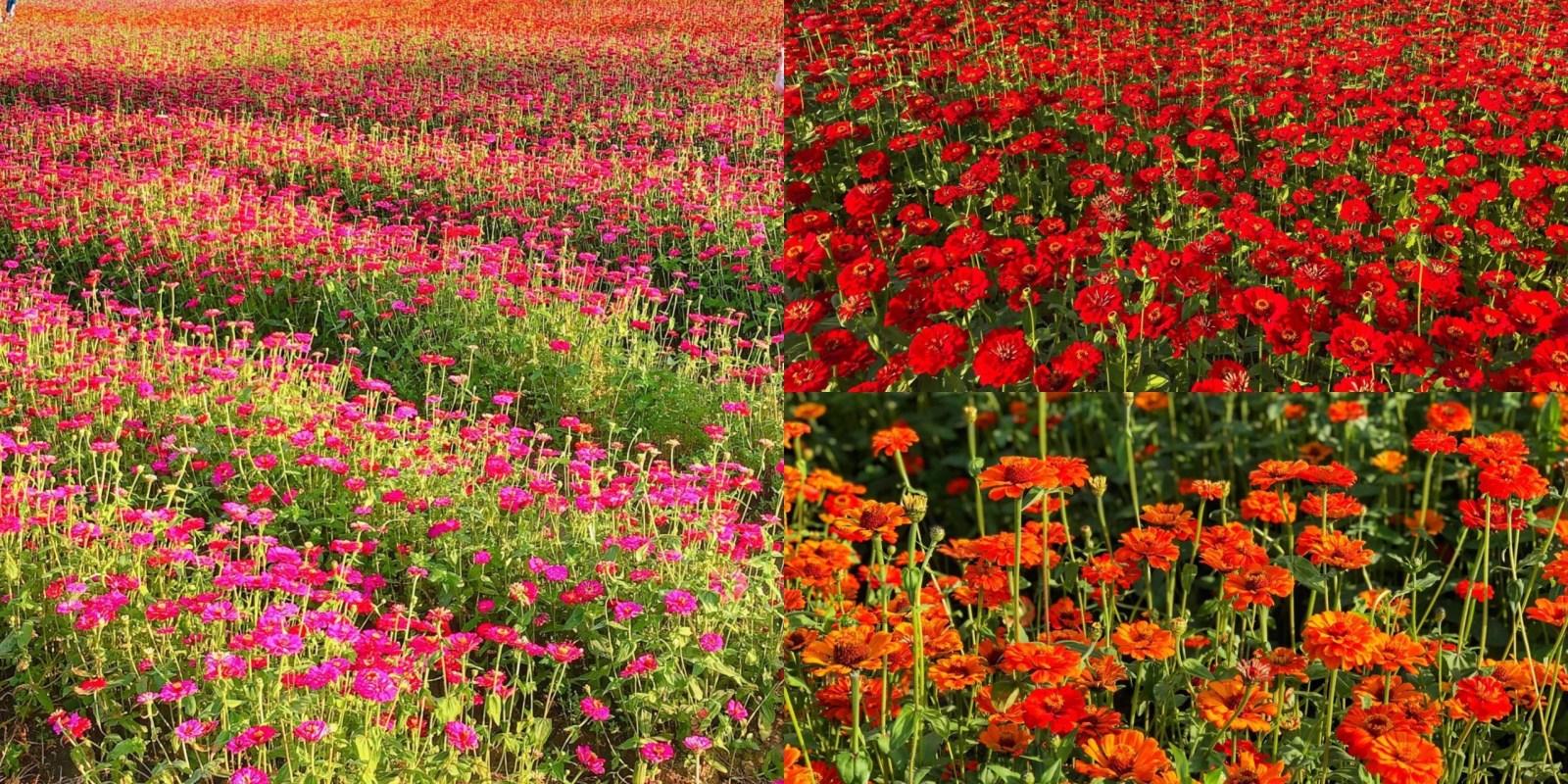 【2021美濃杉林花海】全國最大的花田迷宮在這裡!32公頃超美花海 免門票入場|網美打卡聖地|高雄景點