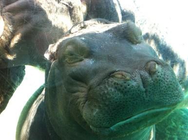 Here hippo!