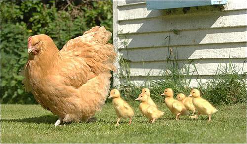 政治科學家怎麼看待台灣選舉的「母雞帶小雞」?