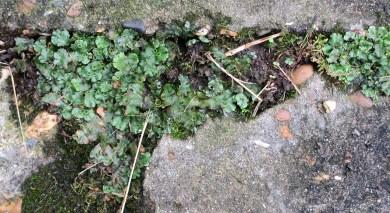 10cm of liverwort (4 inches)