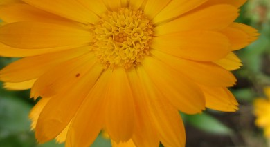a yellow calendula in July