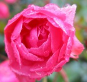 the fore last rose