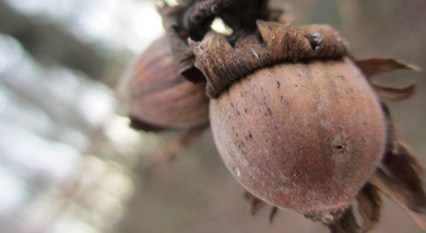 decaying hazelnut clinging to its branch
