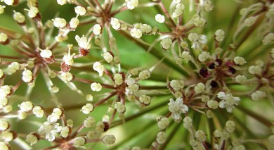 sparkling road weed, a member of the apiaceae
