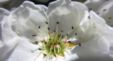 a pear blossom like a wedding dress ...