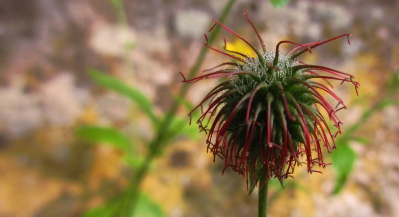 dew on Water Avens (geum rivale L.) -- (click to enlarge)