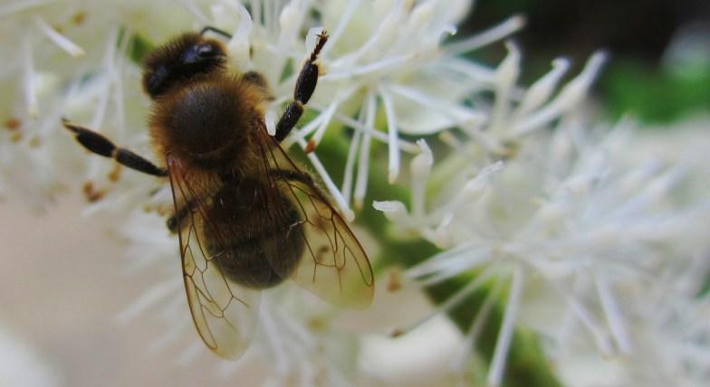 .. honeybee .. (click to enlarge .. )