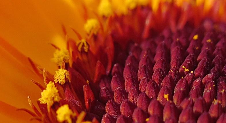 .. calendula macro .. (click to enlarge ..)