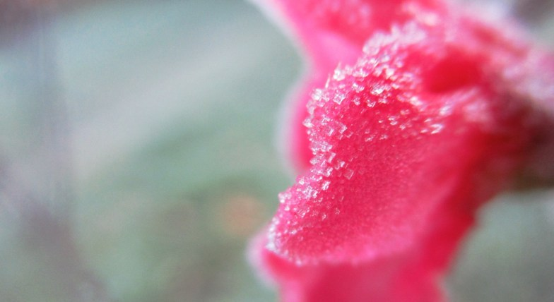 ... frosty petal ... (click to enlarge ..)