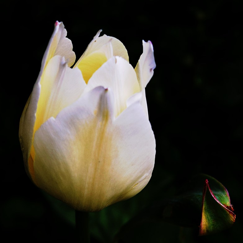 the last tulip in our garden .. (click to enlarge ..)