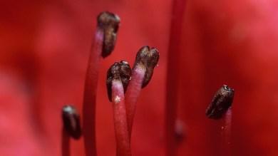 rhododendron stamens ...