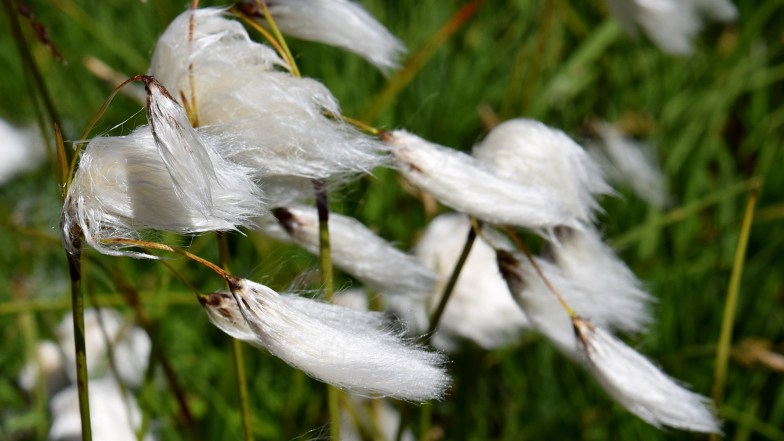 common cotton grass .. (click to enlarge ..)