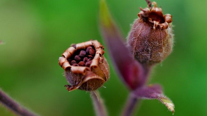 seedbox: silene vulgaris (click to enlarge ..)