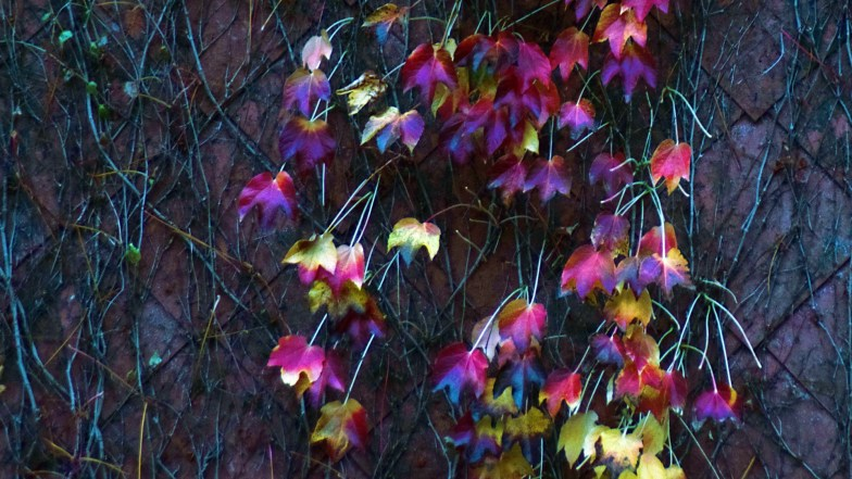 coloured leaves in november .. (click to enlarge ..)