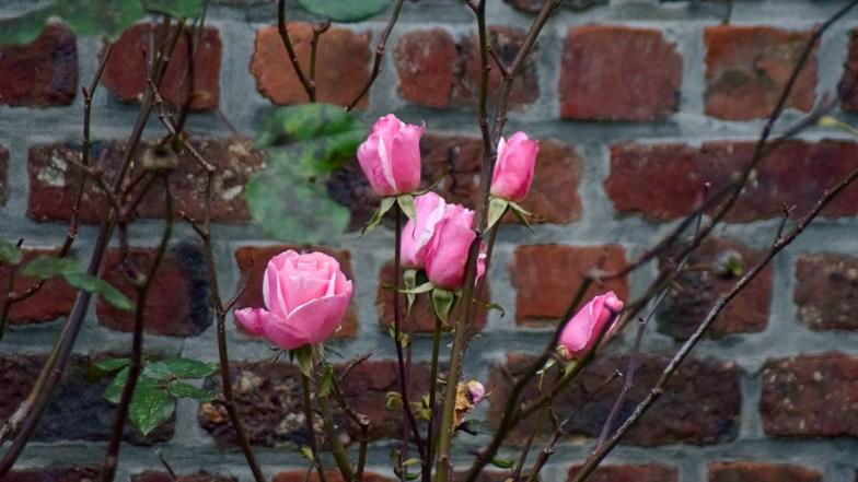 november roses .. (click to enlarge ..)