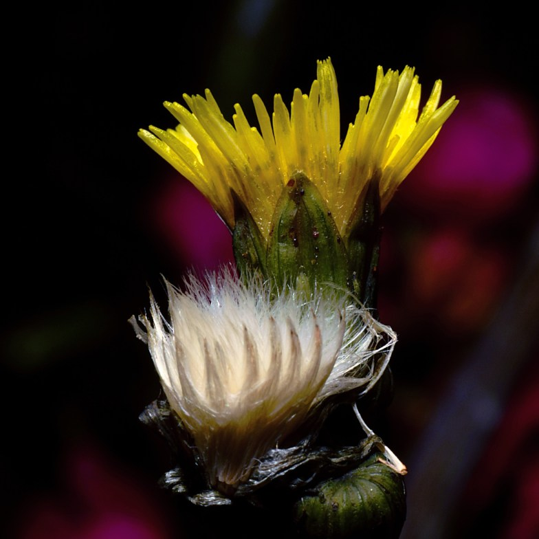 flower, bud, and fluffy seed head of sowthistle .. (click to enlarge ..)